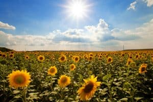 We Can Learn About Business from the Sunflower
